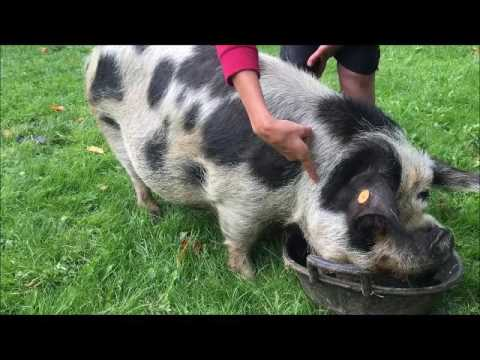 Injecting Kunekune Pigs Youtube