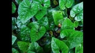 El Motojobobo (Lycianthes asarifolia)