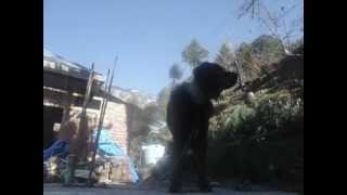 Indian Mountain Dog Gaddi