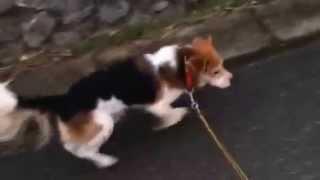 Cute Dog Beagle Everyday ビーグル犬の日常 #7