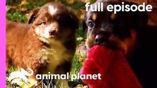 Pug, Rottweiler, and Mini Australian Shepherd Puppies! | Too Cute! (Full Episode)
