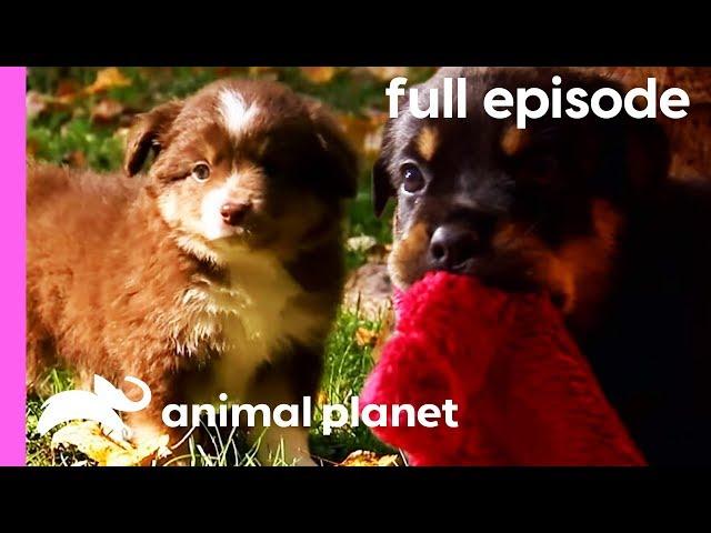 Pug, Rottweiler, and Mini Australian Shepherd Puppies! | Too Cute! (Full Episode)