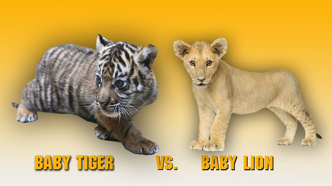 Baby Lion vs Baby Tiger  Animal Fight 2014  YouTube