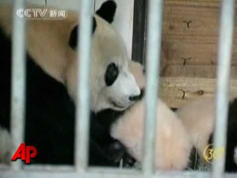 Raw Video: Pandas Surviving Earthquake on Show