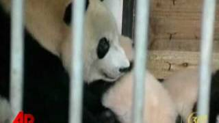 Raw Video: Pandas Surviving Earthquake on Show