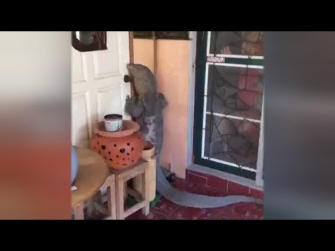 Watch This Monstrous Lizard Stand Up To Knock On Family's Front Door