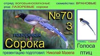 Сорока лазоревая. Голоса птиц