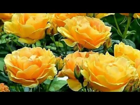 Roses in Russian gardens! How to grow beauty? Diseases of roses, pests of roses.