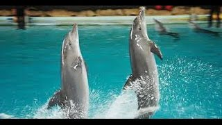 Atraksi Lumba-lumba (Dolphin Show) - Ocean Dream Samudra Ancol