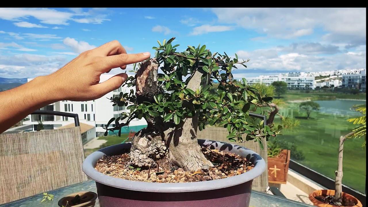 Phyracanta BONSAI Despuntado | Como Seguir dando FORMA a bonsai (defoliado mínimo )