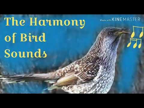 The Harmony Of Bird Sounds - Glossy-mantled Manucode (Manucodia Ater)