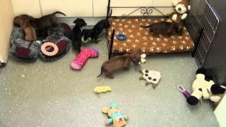 Little Rascals Uk Breeders New Litter Of Pedigree Miniature Dachshunds