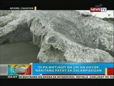 'Di pa matukoy na uri ng hayop, nakitang patay sa dalampasigan sa Aparri, Cagayan