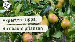 Birnbaum pflanzen: Unsere Experten-Tipps (Anleitung)