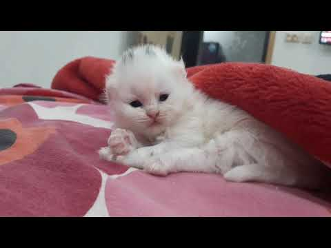 Corona Virus    Covid-19    Kittens