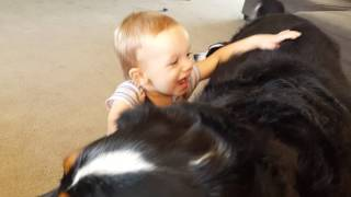 Bernese Mountain Dogs and Twins