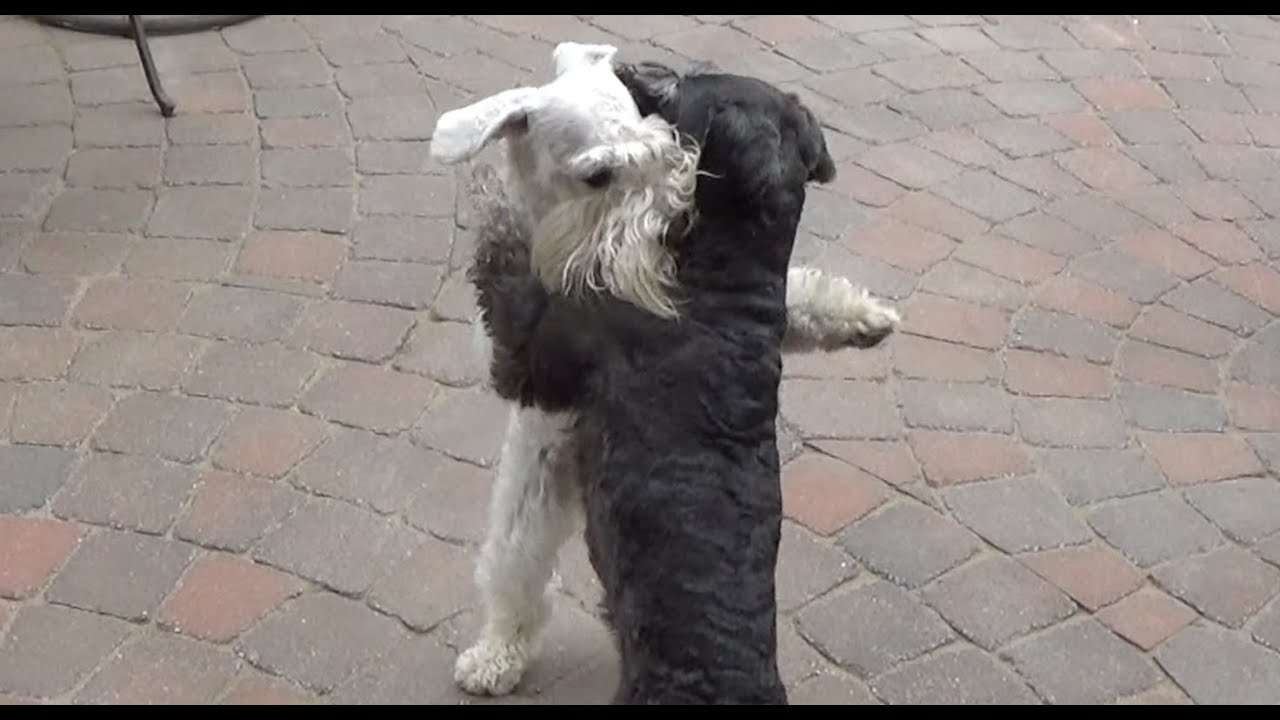 Black and White Schnauzers Dogs Play Fighting - YouTube