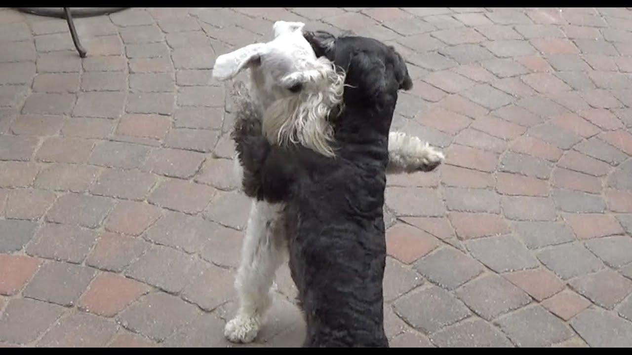 Schnauzer Like Dogs