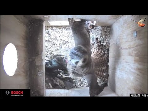 American Kestrel Fights an Invasive European Starling for Nestbox