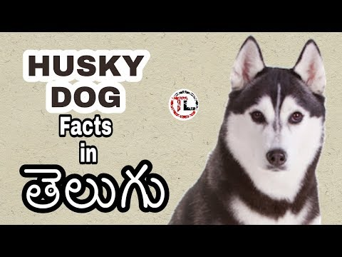 Siberian husky Dog Facts In Telugu