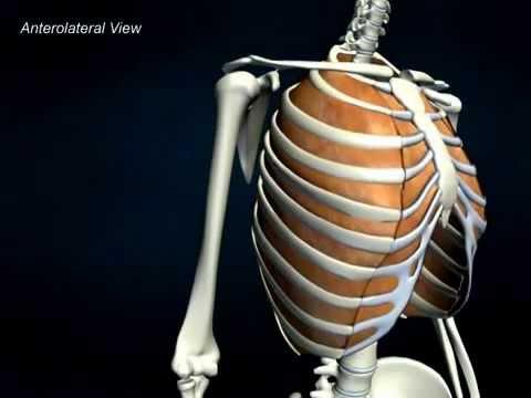 Internal Intercostals - AnatomyOnlineCourse - YouTube