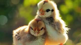Sự thật ác mộng giấc mơ thấy gà - Giải mã giấc mơ thấy con gà