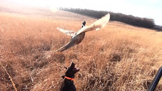 Pheasant Hunting with GSP Puppy 2