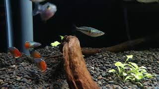 Melanotaenia boesemani 'orange' bij Aquarium Speciaalzaak