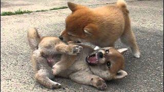柴犬の子犬の喧嘩って激しいって言うけど、本当です。耳に噛み付いて引...