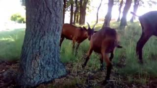 Koza alpina goat alpine