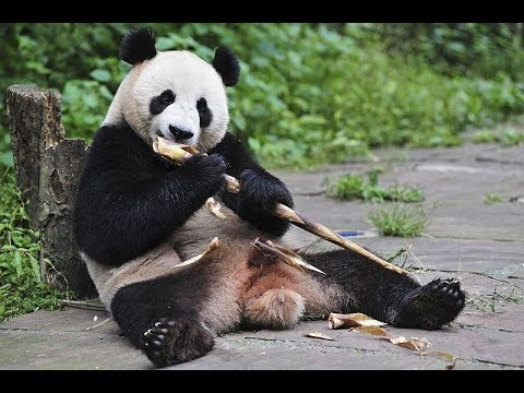 Our Trans Mongolian Railway & China trip Part 18 Panda's of the Beijing Zoo June 9 - 2010 Vlog 296