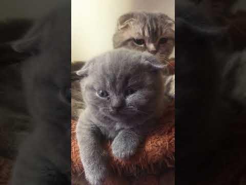 Why so cute baby shadow 😍😍😍😍 (Scottish fold cat)