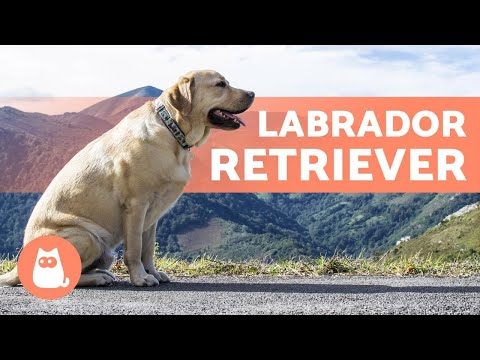 LABRADOR RETRIEVER - ALL About This Popular Breed