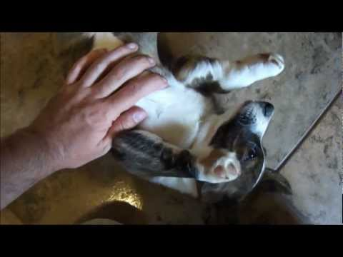 cute-puppy-noises-(cardigan-welsh-corgi-ebo;-11-weeks-old)