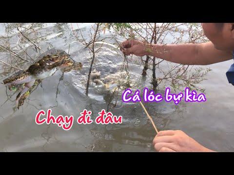 Cấm câu cá lóc mùa nước nổi dính được con ếch bự | fishing