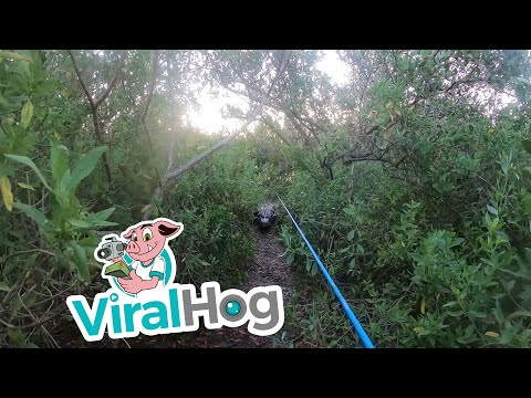 Chased-by-Bull-Alligator-While-Tarpon-Fishing-ViralHog