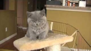 British Shorthair Kittens - 7/8 weeks old