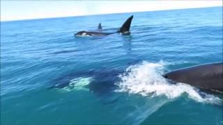 Orcas Cruise Alongside Jet Ski Off Kaikoura