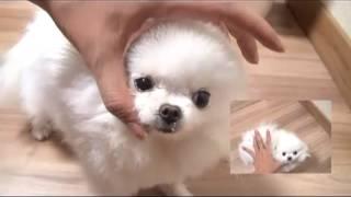 Hello Kitty Micro Teacup Adult Pomeranian For Sale