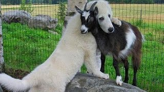 Cute Puppy Goat Compilation