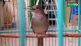 Gambar cover Untuk Masteran | Burung Kapas Tembak Gacor