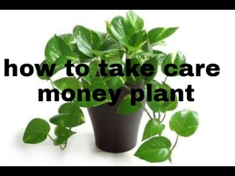 money tree plant care instructions