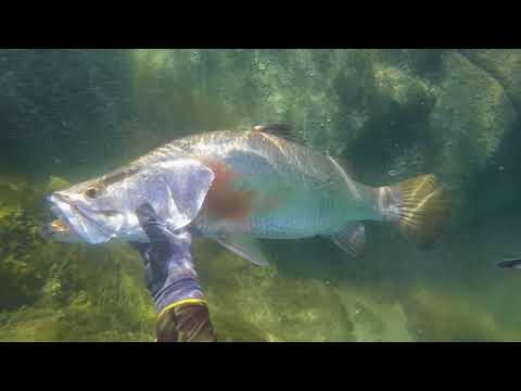 Spearfishing BARRAMUNDI Far North Queensland