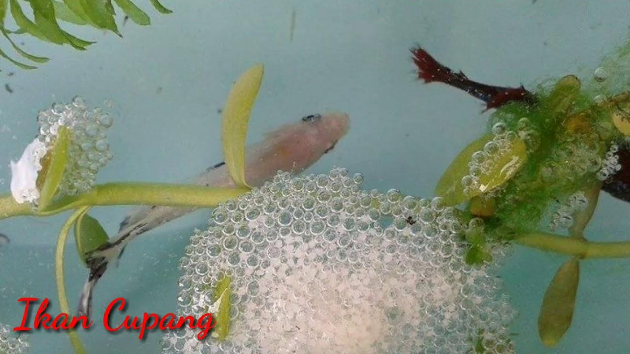 Berapa Lama Telur Ikan Cupang Menetas? Inilah Proses ...