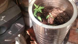 Growing a Marijuana plant indoors: Burnt leaves?