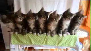 Коты танцуют