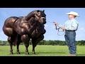 と 育種 ブルズ 競技 牛 子馬 馬 交尾 変異体 変異体 再生 電源 トレーニング と