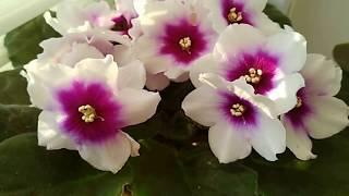 Эти фиалки ВСЕГДА цветут ШАПКОЙ! Фиалки для начинающих.