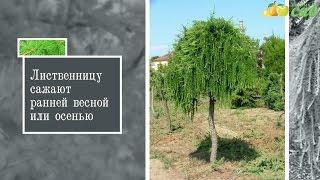 видео Лиственница: посадка, уход и размножение дерева на штамбе