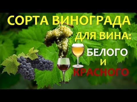 Лучшие сорта винограда для вина🍷 Чем эти сорта лучшие других? | технический | садоводство | виноделия | винограда | плодовые | вероника | садовая | винный | экспр | рондо